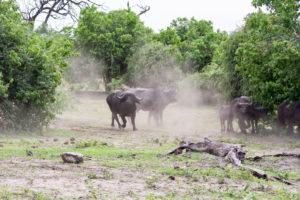 animaux botswana