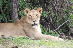 lionne botswana chobe