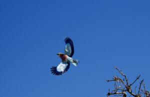 oiseaux chobe botswana