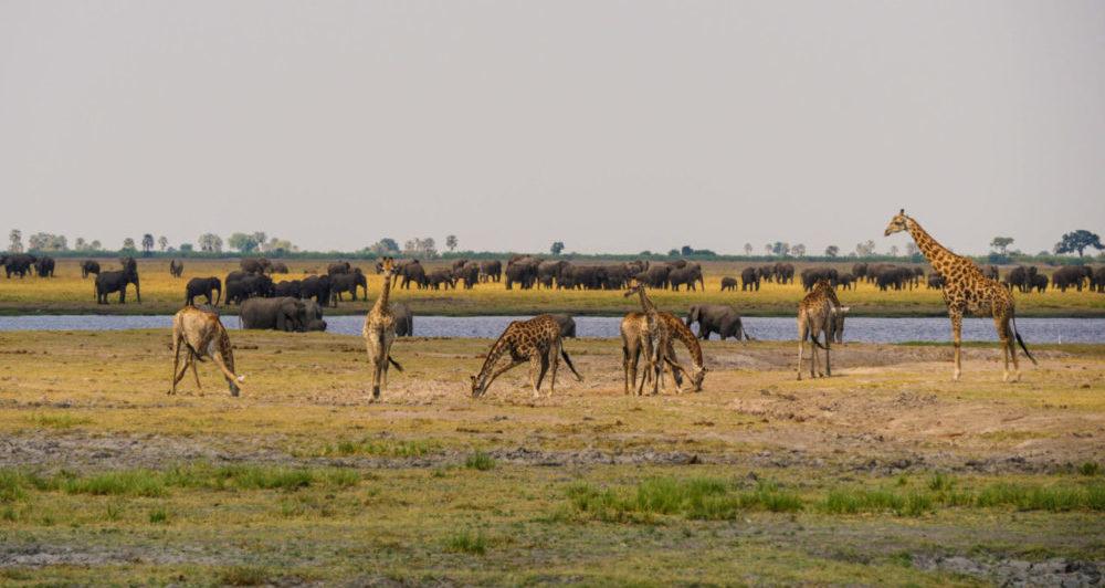Elephants Chobe Botswana