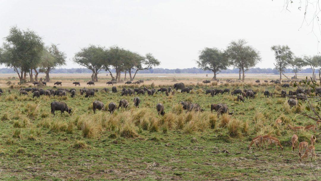ZAMBIA Lower Zambezi Buffalos At Sunset Place