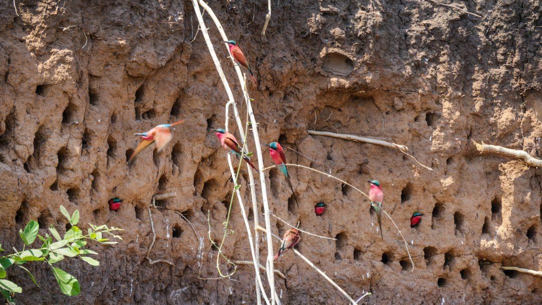 ZAMBIA Lower Zambezi Carmine Bee Eaters