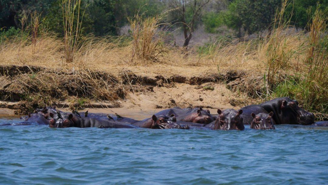 ZAMBIA Lower Zambezi Hippos