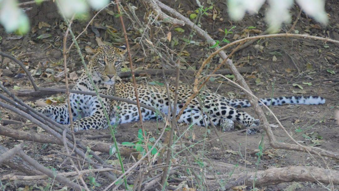 ZAMBIA Lower Zambezi Leopard